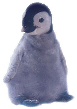 photo of emperor penguin  chick