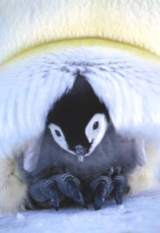 photo of  of emperor penguin chick