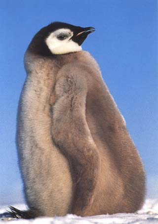 photo of rookery of large emperor penguin chick