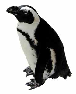 gay black-footed or Jackass penguin