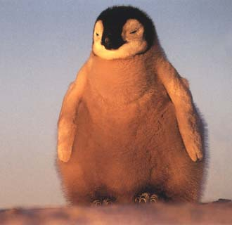 photo of well-fed emperor penguin chick