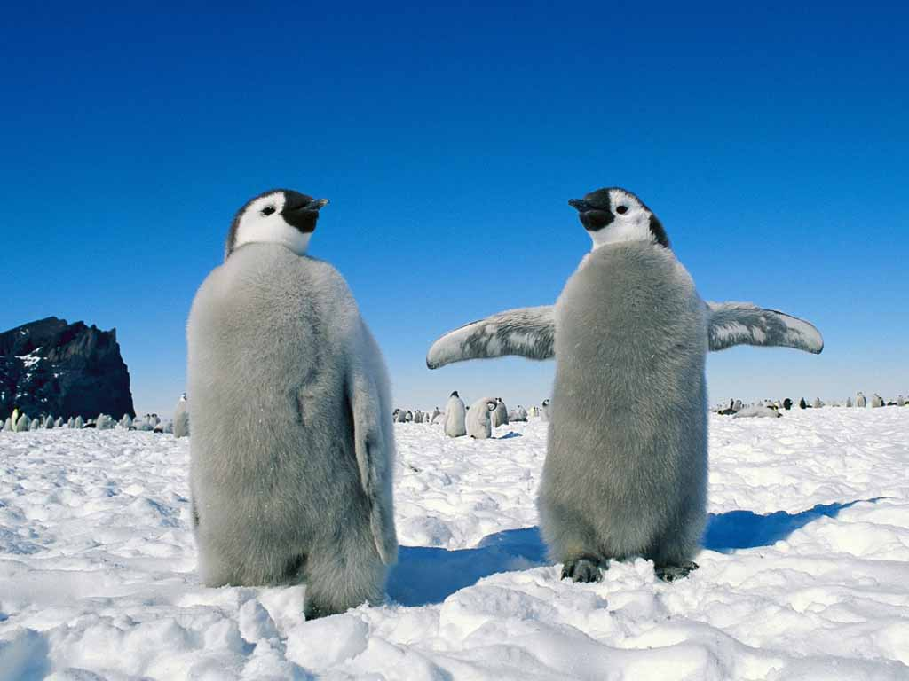 photo of two emperor penguins