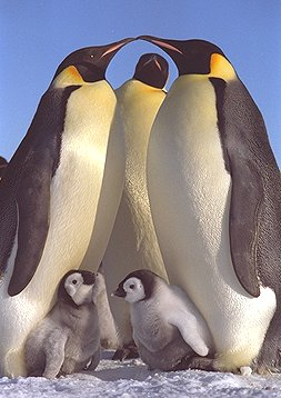 picture of Emperor penguins