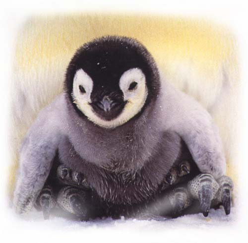 The Emperor Penguin : Aptenodytes forsteri