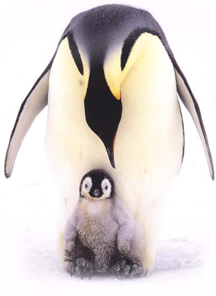 photo of emperor penguin and her chick