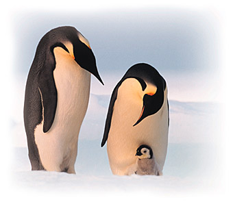 emperor penguins and their chick rookery