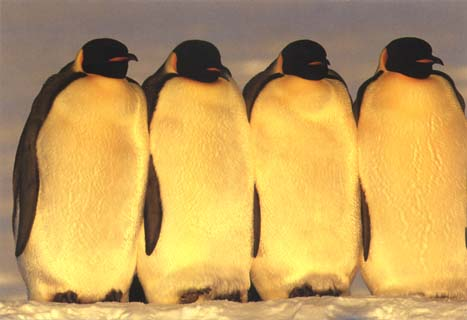 photo of four of emperor penguins