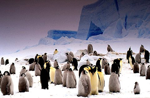 photo of of emperor penguins