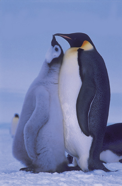 Emperor penguins and chick