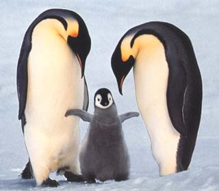 photo of emperor penguin chick and its parents