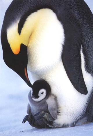 photo of cradled emperor penguin chick
