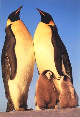 photo of rookery of emperor penguins