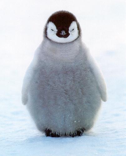 external image penguin-chick.jpg