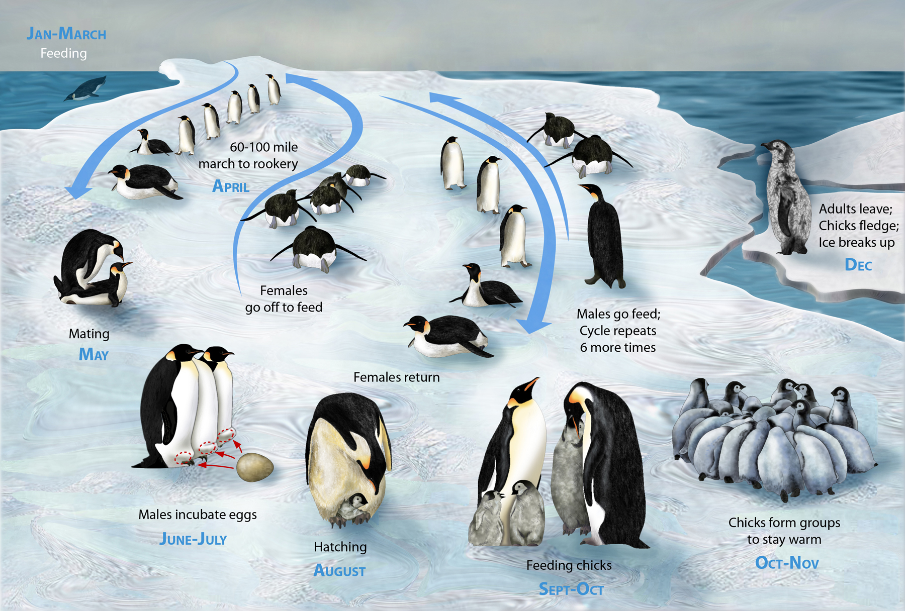 Life cycle of the Emperor Penguin