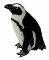 gay black-footed penguin, Spheniscus demersus